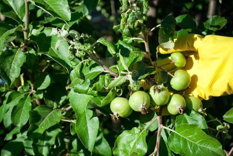 在一棵树的绿色未成熟的小果实苹果,在黄色橡胶手套穿戴的手上 免版税库存图片