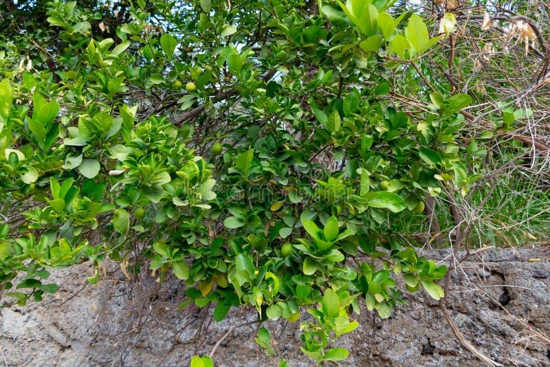 在一棵树的绿色未成熟的蜜桔在一个石墙外在一个南部的国家 库存照片