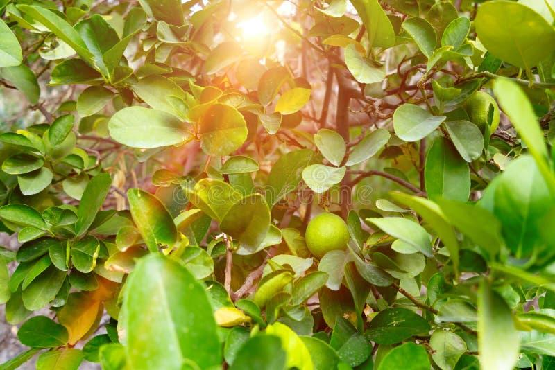 在一棵树的绿色未成熟的蜜桔在一个石墙外在一个南部的国家 库存图片