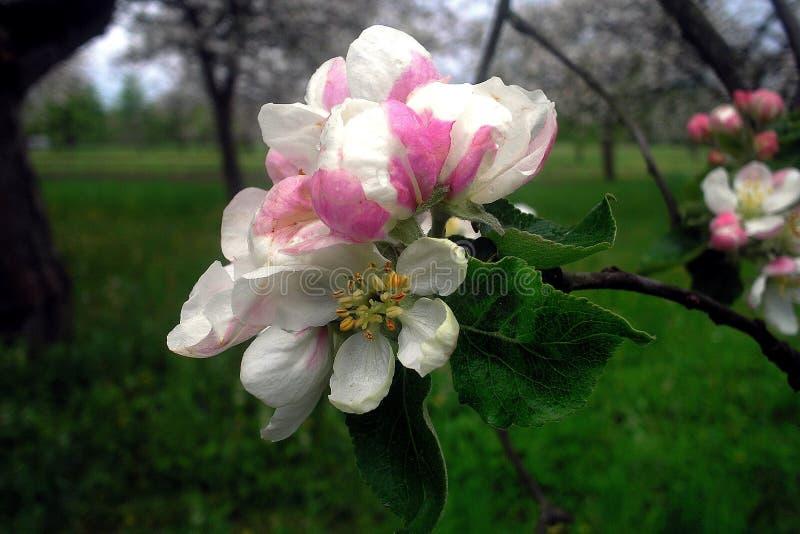 在一棵树的美丽的花在多云天气 图库摄影