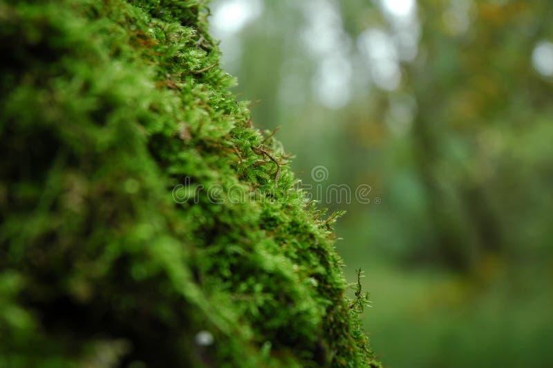 在一棵树的青苔在森林里 库存照片