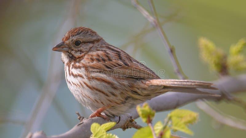 在一棵树的麻雀种类在春天-木湖自然中心在明尼苏达 免版税图库摄影