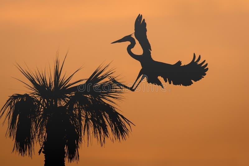 在一棵棕榈树的伟大蓝色的苍鹭的巢着陆在日出 库存图片