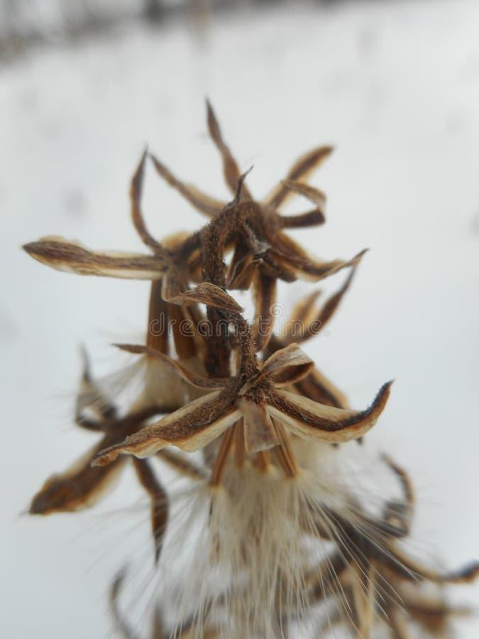 在一棵植物的白花雪的 免版税库存照片