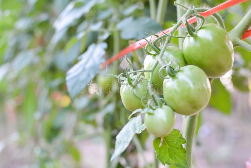 在一棵植物的蕃茄在庭院里 免版税图库摄影