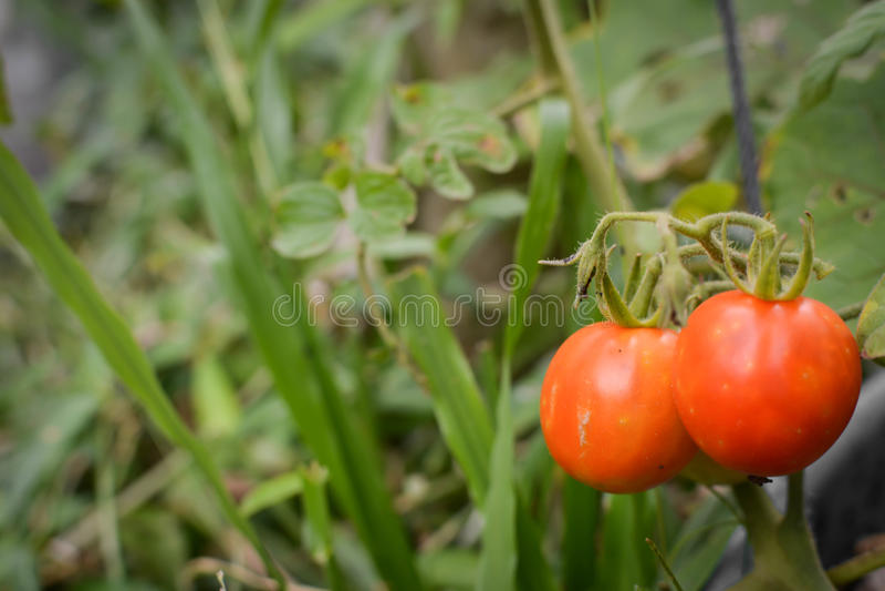 在一棵植物的蕃茄在庭院里 库存图片