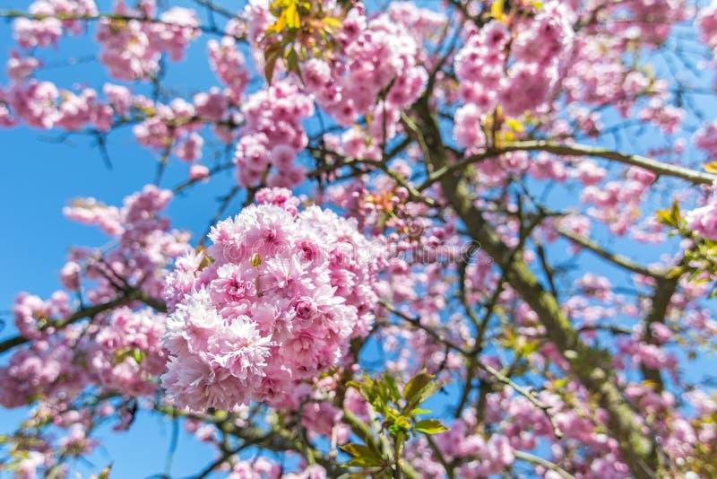 在一棵樱桃树的美丽的桃红色花在天空蔚蓝前面 免版税库存照片