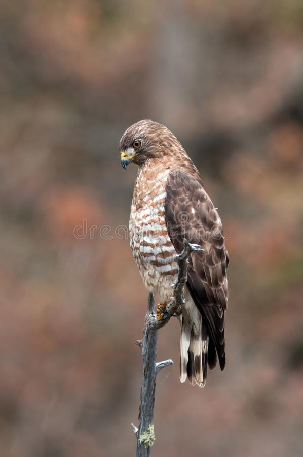 在一棵死的树栖息的宽广飞过的鹰 免版税库存图片