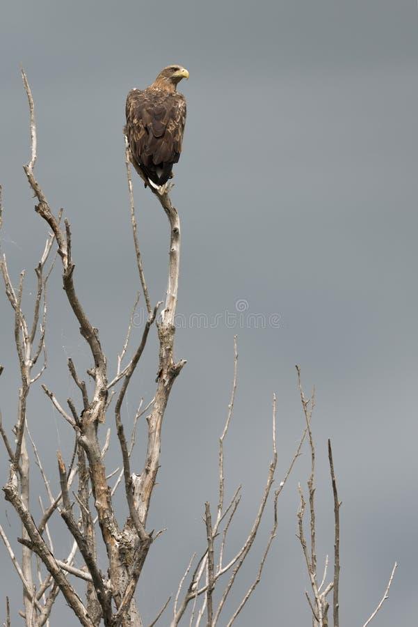 在一棵死的树的分支的干草原老鹰 掠食性动物的伟大 鸷在狂放的 免版税库存照片