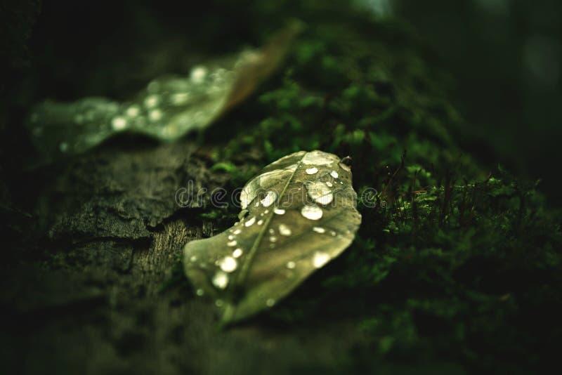 在一棵残破的树的绿色满地露水的叶子 库存照片