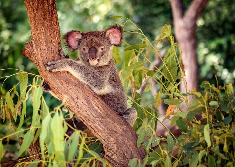 在一棵玉树的考拉在昆士兰,澳大利亚 库存图片