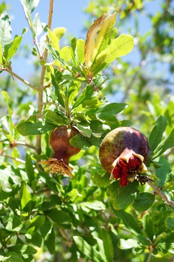 在一棵绿色有叶的树的红色球状的花 图库摄影