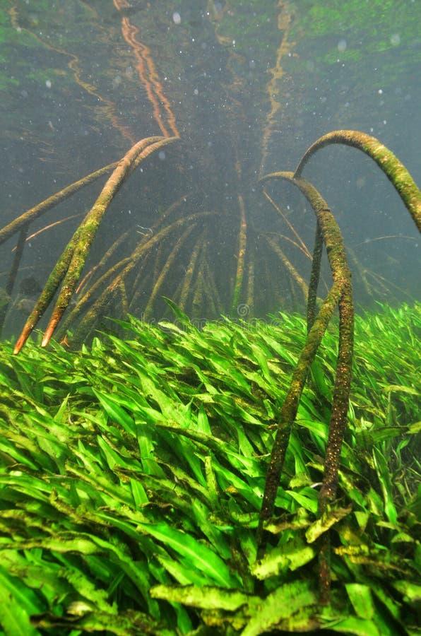 在一棵美洲红树树的水下与根的在Thapom盐水湖, 库存照片