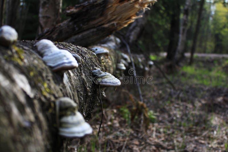 在一棵老下落的树的树干的火种蘑菇 免版税库存照片