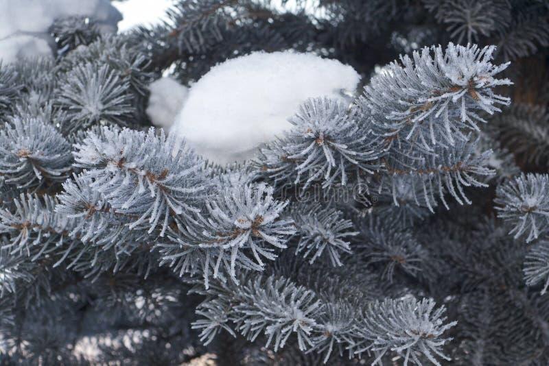 在一棵蓝色云杉的雪 免版税库存图片