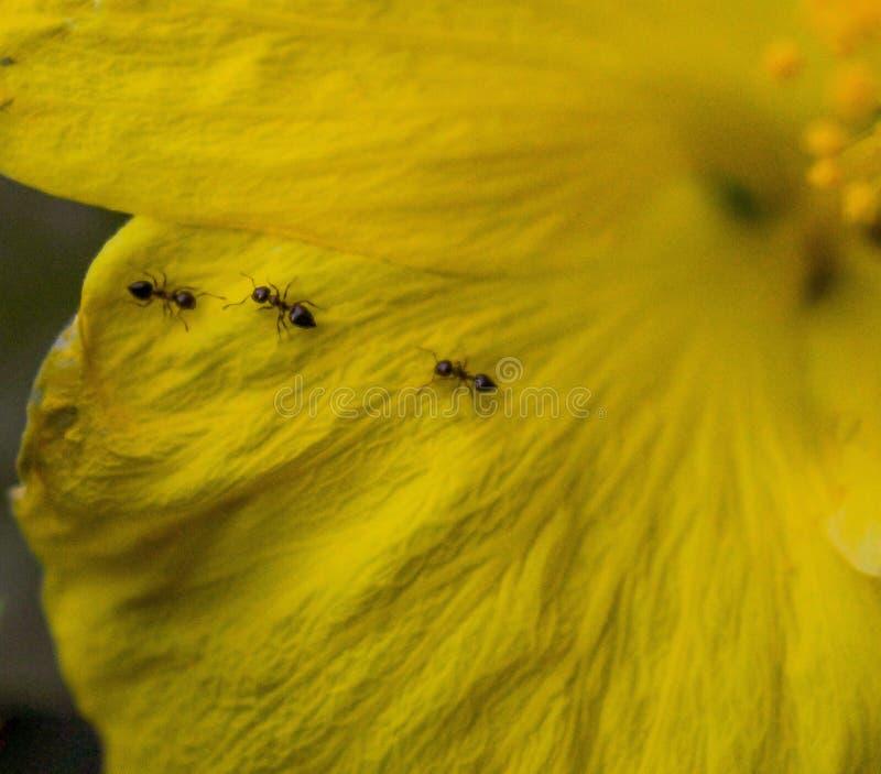 在一棵黄色木槿的三只蚂蚁 免版税库存图片