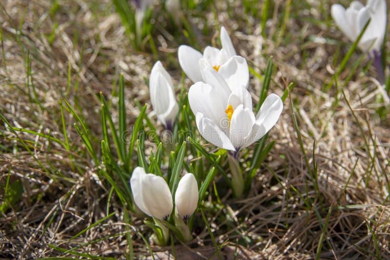 在一棵黄色草的春天番红花在一好日子 免版税库存照片