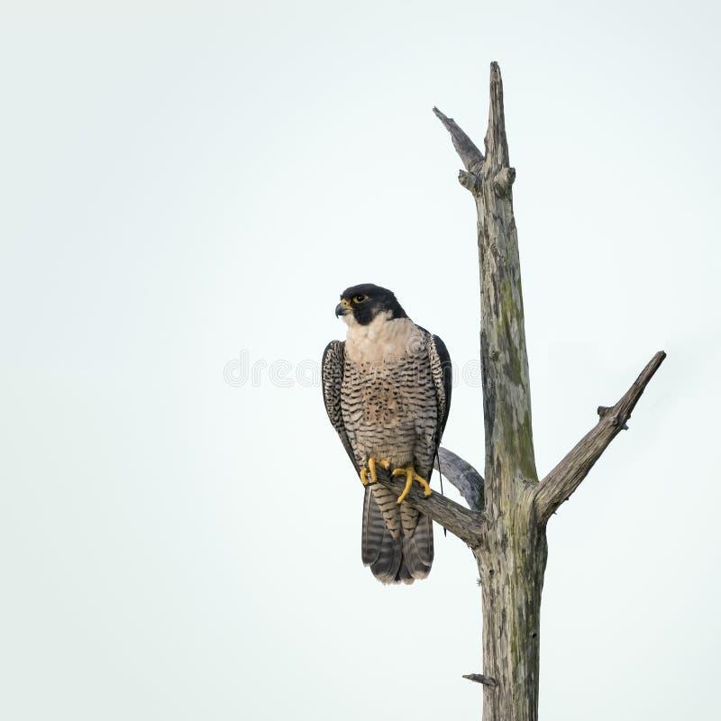 在一棵死的树栖息的旅游猎鹰-佛罗里达 免版税库存照片