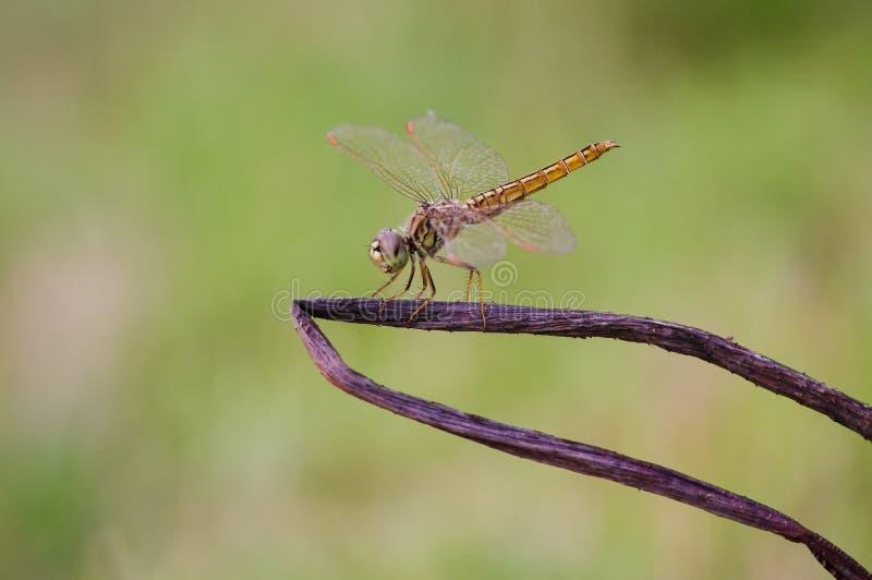 在一棵死的树的金黄蜻蜓 库存照片