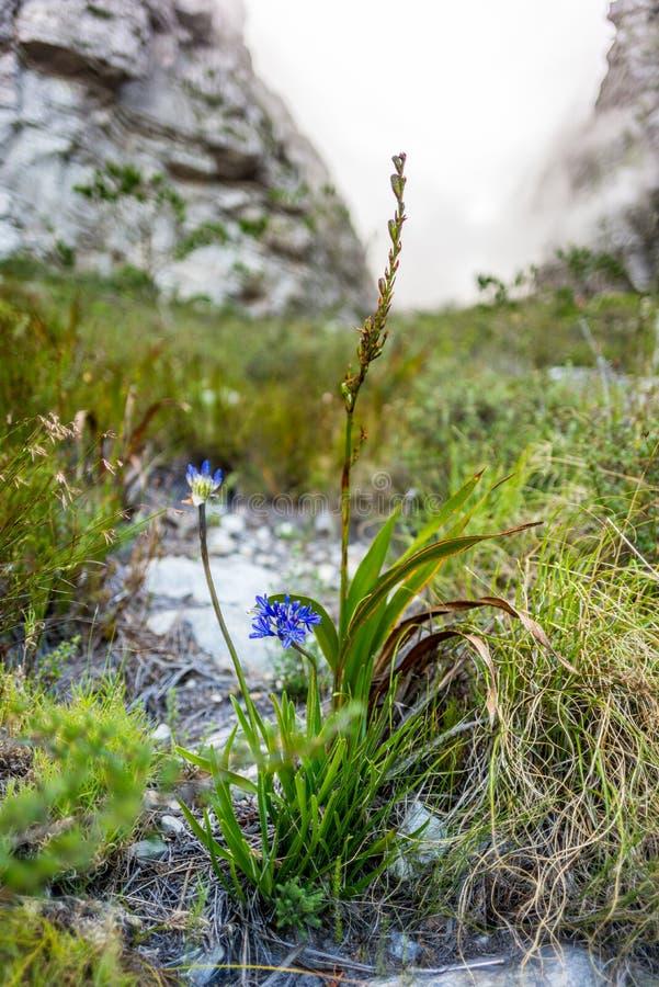 在一次远足期间的野花在开普敦桌山- 库存图片