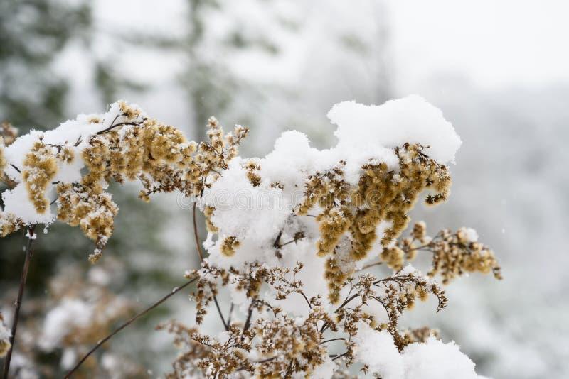 在一点干燥植物种子,用雪盖的植物的雪 免版税库存图片