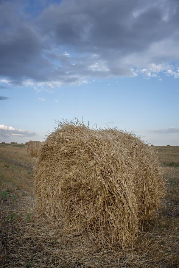 在一片农田在阴云密布,在雨以后的阴沉的天的滚动的麦子 图库摄影