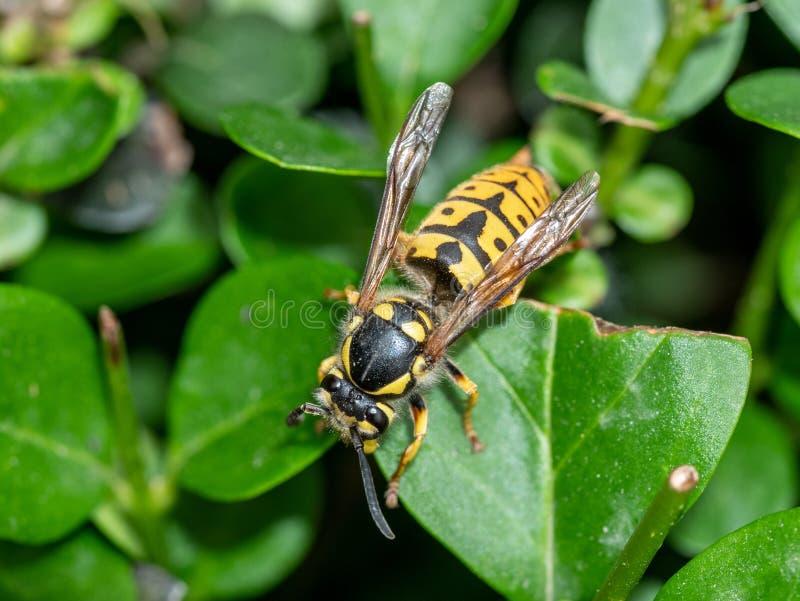 在一片叶子的群居黄蜂germanica-德国黄蜂本质上 宏观照片 图库摄影