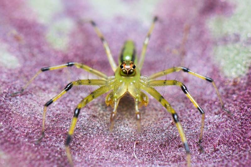 在一片桃红色叶子的一只绿色蜘蛛 图库摄影
