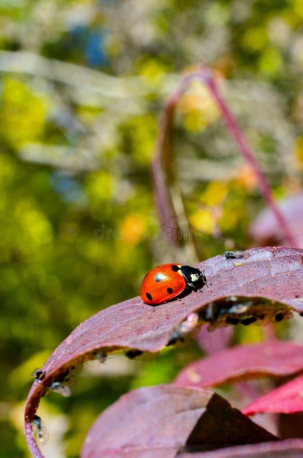 在一片红色叶子的瓢虫 免版税库存图片