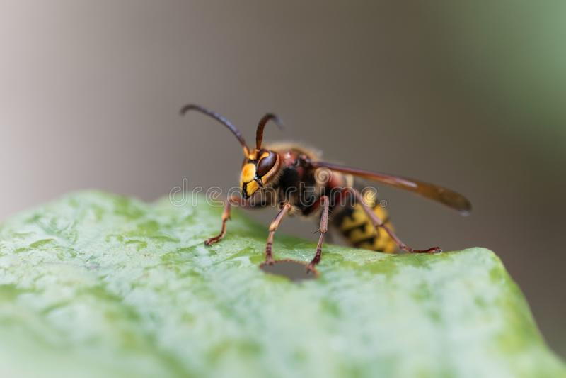 在一片绿色叶子的欧洲大黄蜂大黄蜂类crabro 免版税库存图片