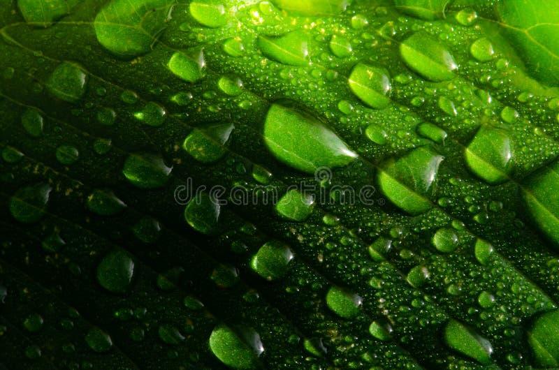 在一片绿色叶子的水下落在早晨时间,精选的焦点 库存图片