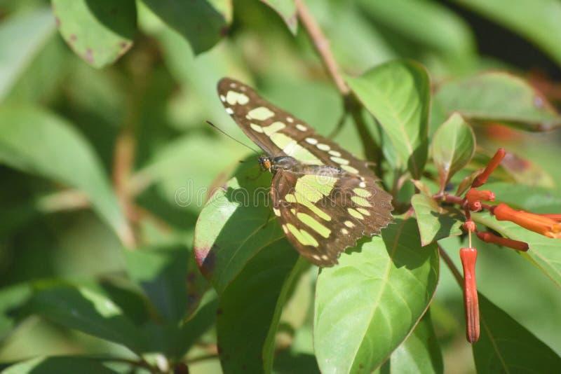 在一片绿色叶子的绿沸铜蝴蝶在庭院里 库存图片