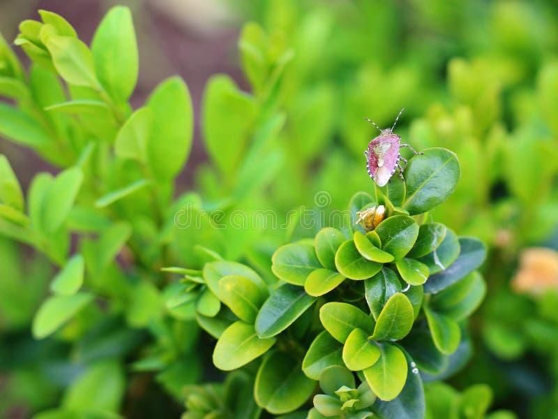 在一片绿色叶子的臭虫 库存图片