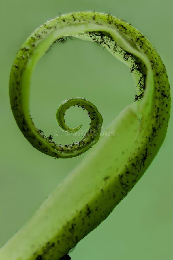 在一片绿色叶子的螺旋形状 免版税库存图片