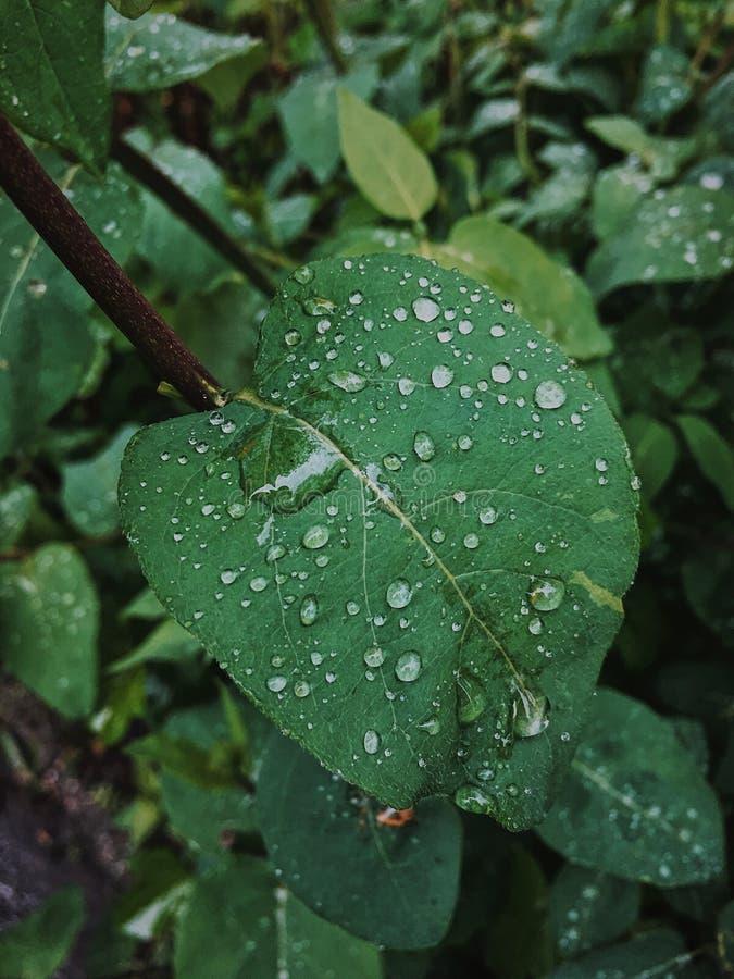 在一片绿色叶子的雨珠 免版税库存图片