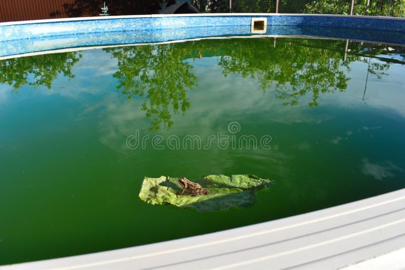 在一片绿色叶子的青蛙在水池关闭 青蛙在好日子绿化一张侧视图 库存图片
