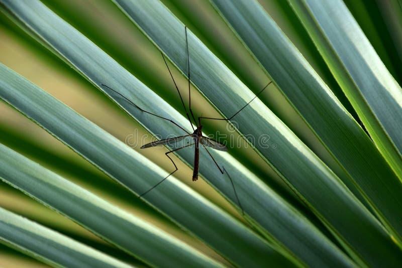 在一片绿色棕榈叶的大蚊子 免版税库存照片