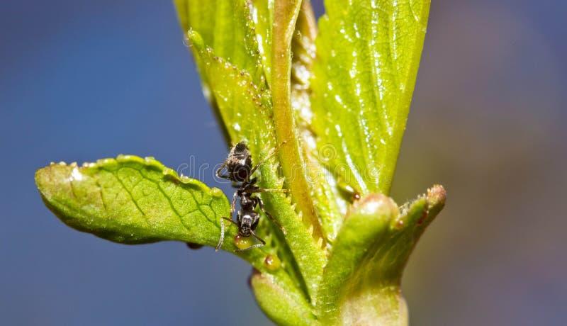 在一片绿色叶子的宏观蚂蚁 免版税库存图片
