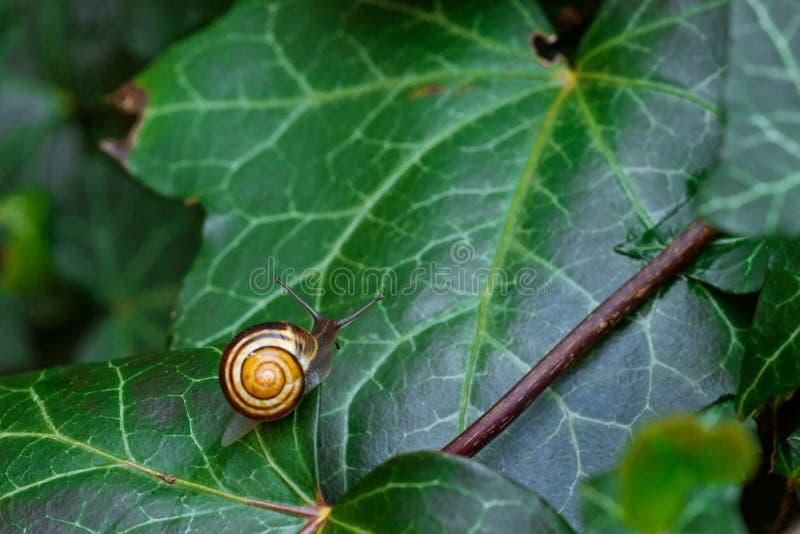在一片绿色常春藤叶子的蜗牛 免版税库存照片