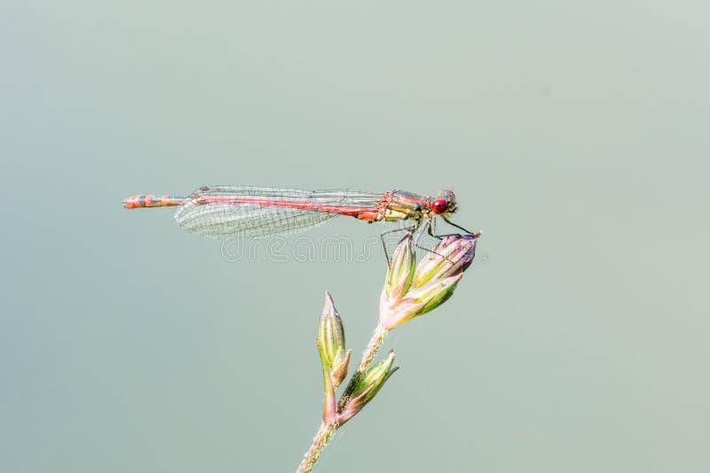 在一片绿色草叶的红色蜻蜓 库存图片