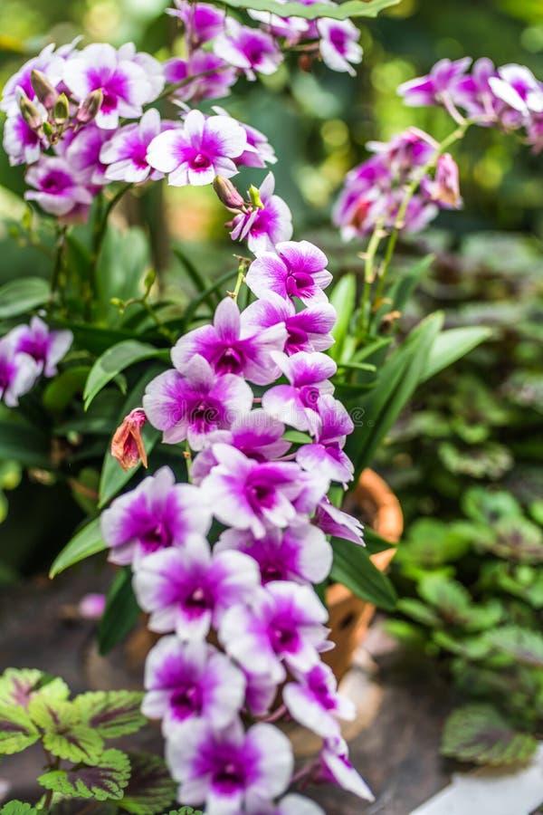 在一狂放的热带森林美好的春天flowe的紫色兰花 库存图片