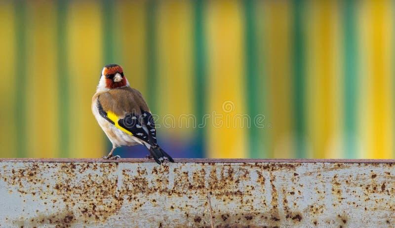 在一生锈金属片的金翅雀鸟反对明亮的镶边背景 免版税库存照片