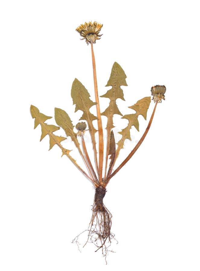 在一白色backgrou隔绝的Taraxacumpressed植物干燥标本集 免版税图库摄影