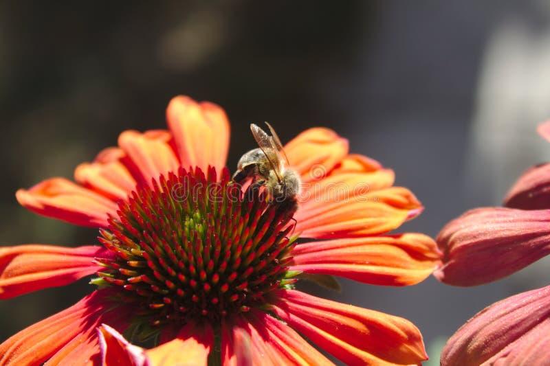 在一红色coneflower的蜂 免版税库存图片