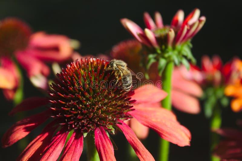 在一红色coneflower的蜂 免版税库存照片