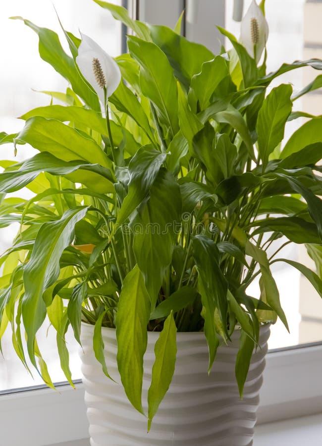 在一罐spathiphyllum的一朵花在窗台在办公室,被隔绝的室内植物 库存图片