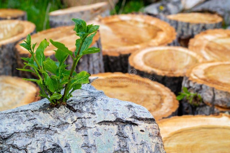在一被锯的树白杨树植物奋斗的绿色新芽 免版税库存照片