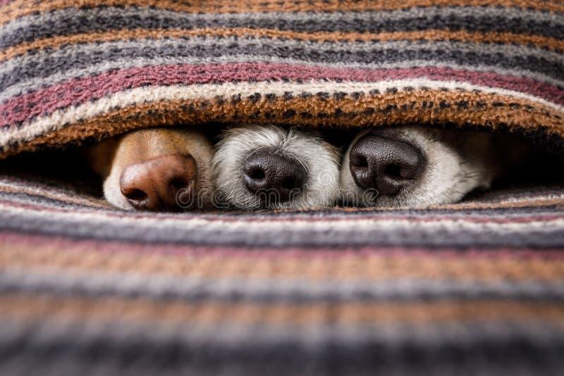 在一起毯子下的狗 免版税图库摄影
