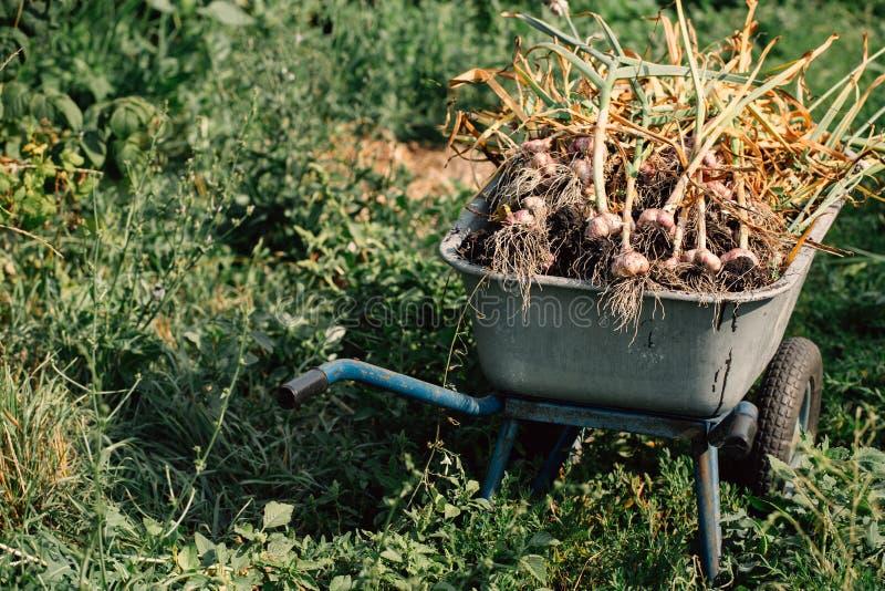 在一辆独轮车的新鲜的大蒜在绿草背景  免版税库存图片