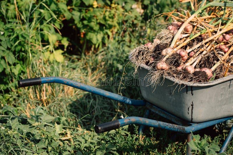 在一辆独轮车的新鲜的大蒜在绿草背景  库存图片